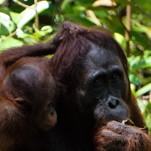 Orangutanes en Tanjung Puting